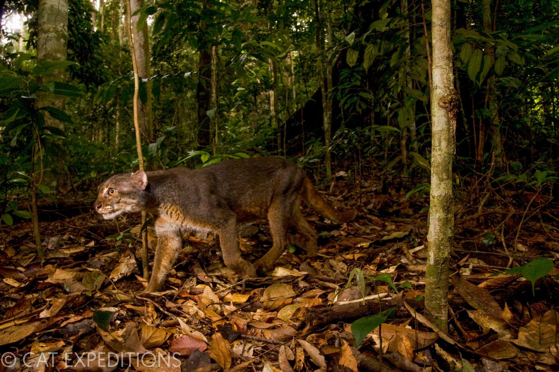 Borneo Bay Cat in tropical rainforest