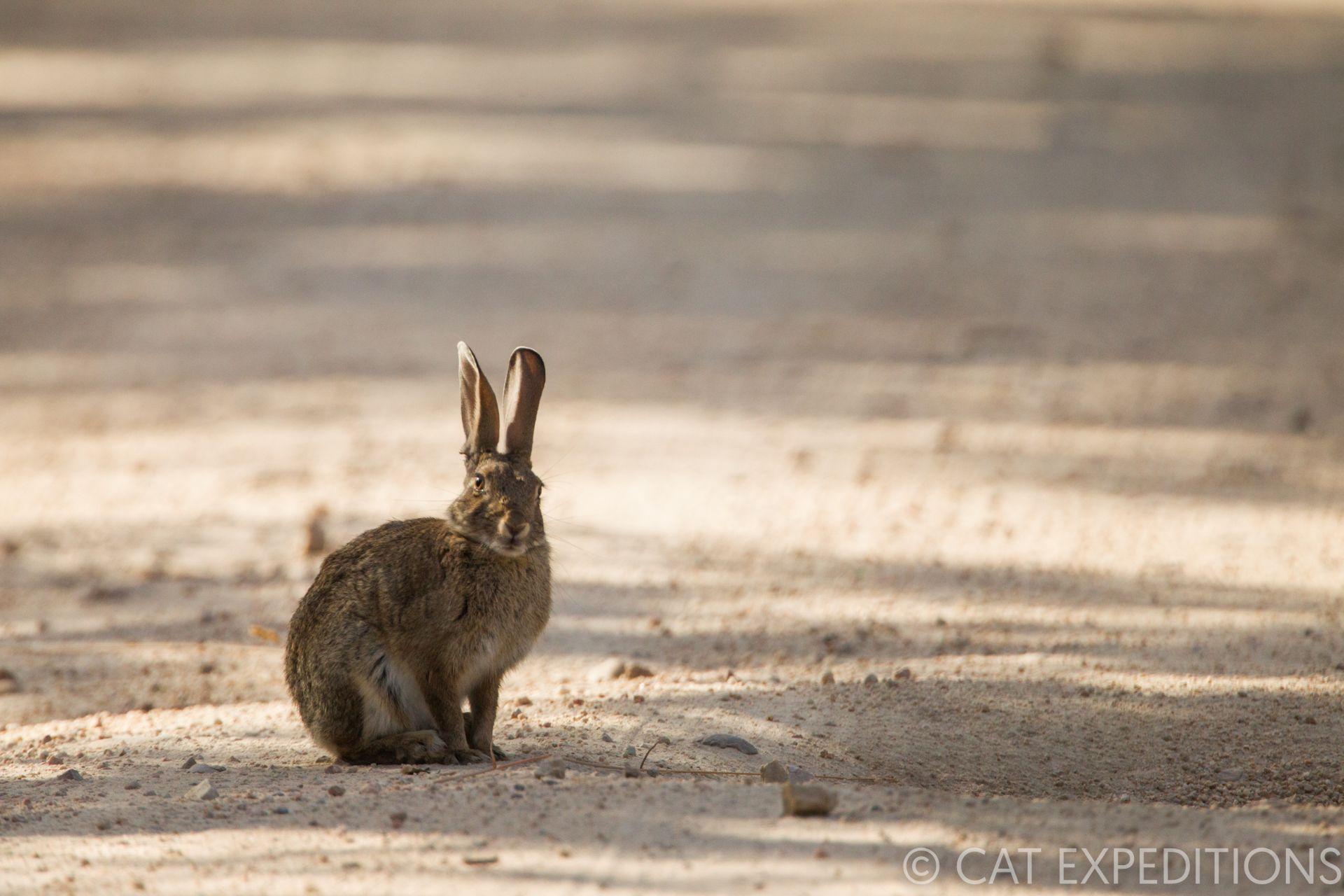 Iberian Hare