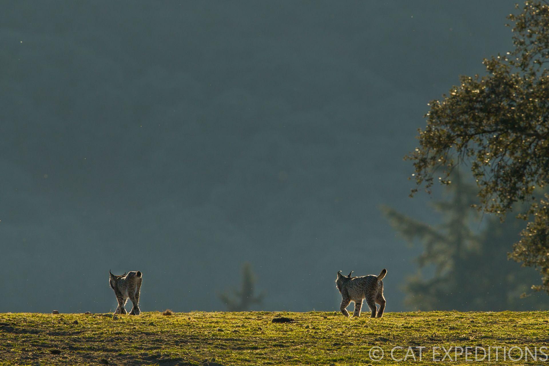 Spanish lynx mating pair