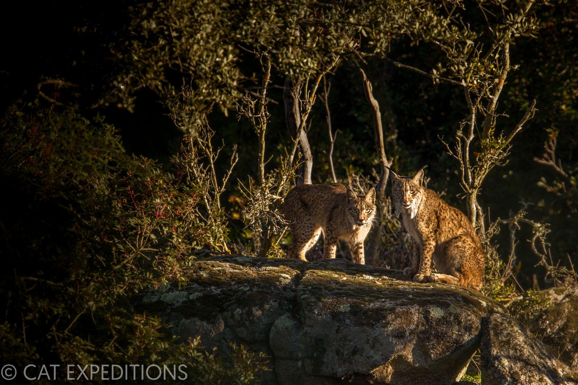 Iberian lynx mother and kitten