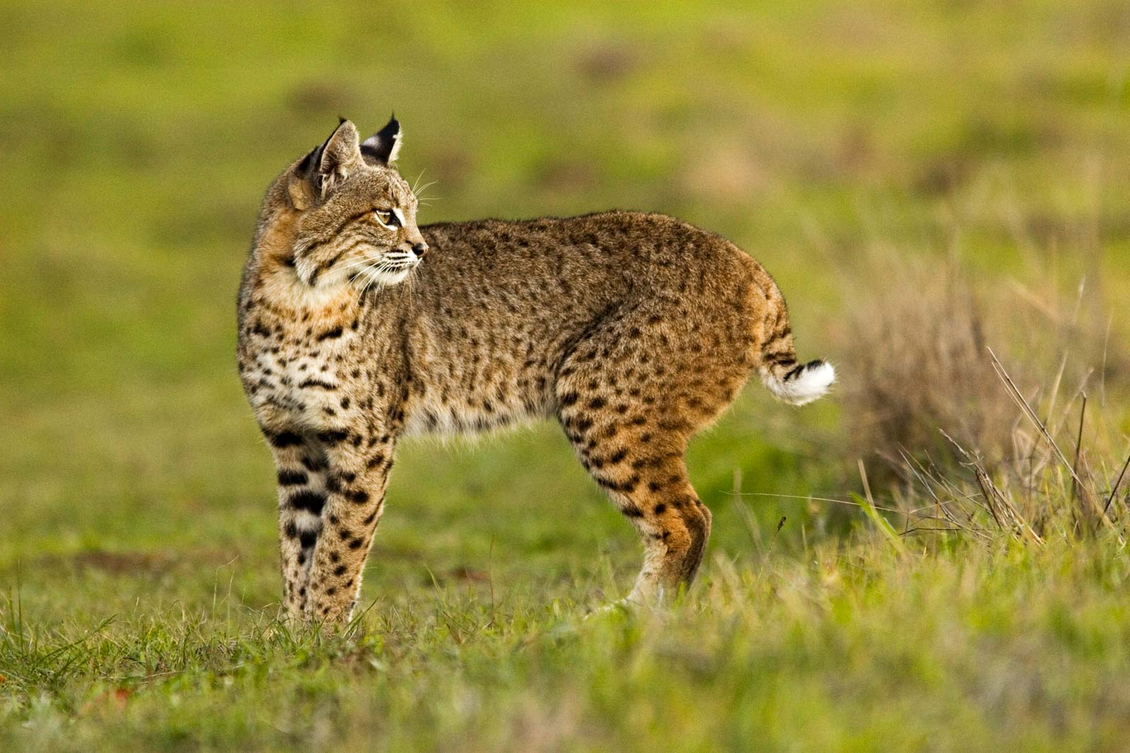 Bobcat during our Bobcat in Grasses during out Bobcats of California Photography Tour