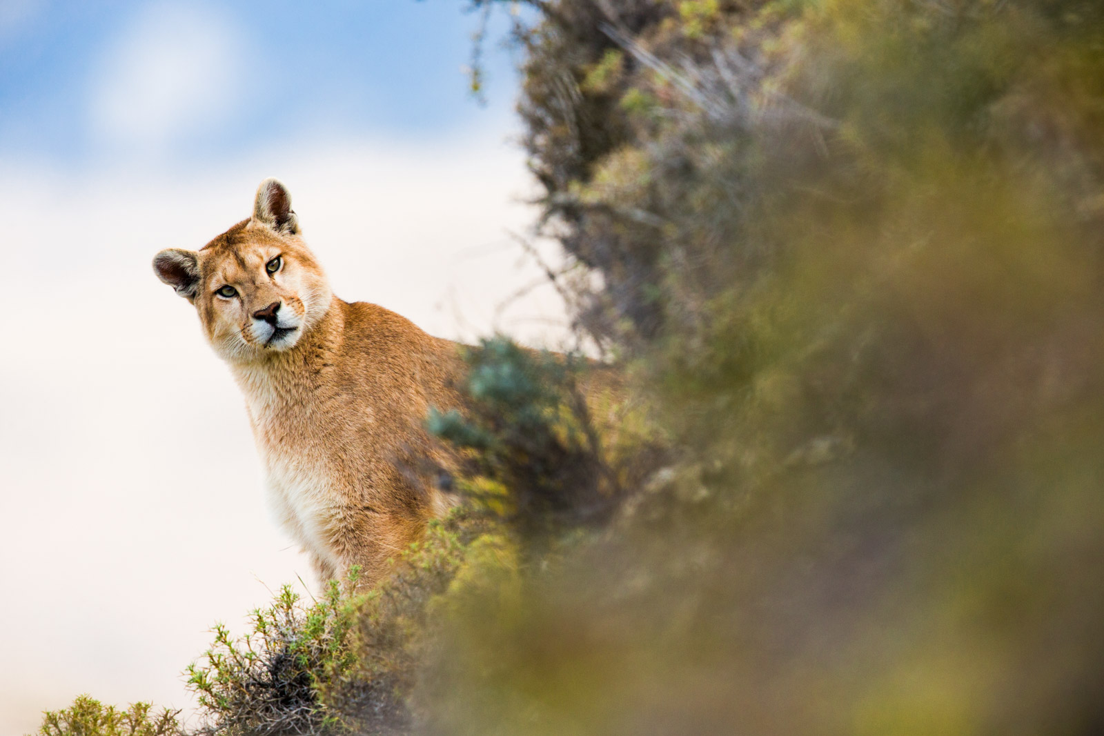 Puma during our Pumas of Patagonia Photo Tour