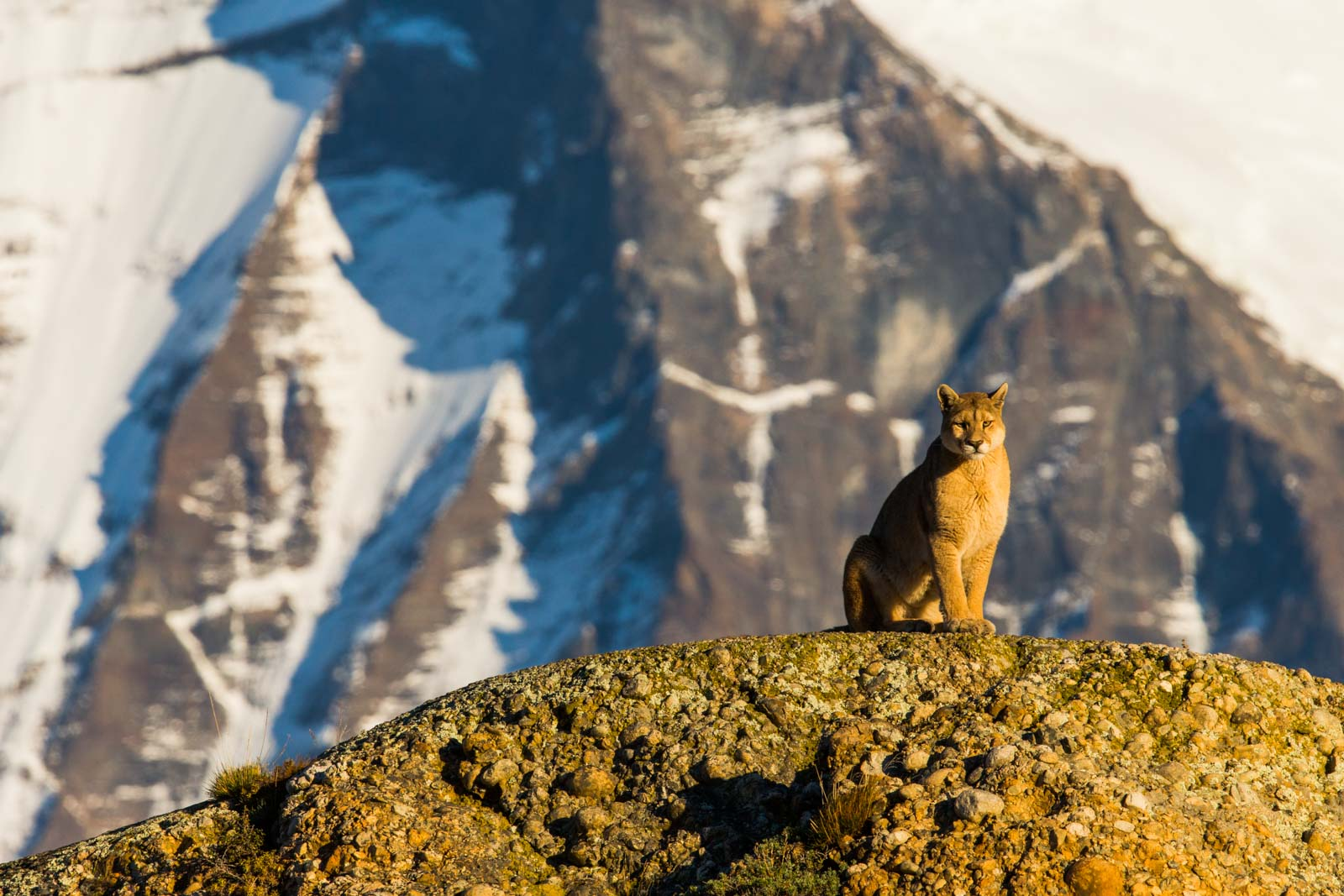 Puma and mountains in Chile